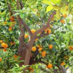 Alberi d' arancio