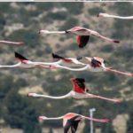 8-fenicotteri-in-volo